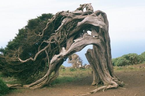 El Hierro Sabinar1 500x333 Visita natural a la fabulosa isla de El Hierro. Saborea el encanto de las Islas Canarias